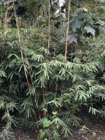 高度3米的琴丝竹价格,四川竹子种植基地