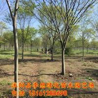 江蘇紅櫸樹哪家好 紅櫸樹現在可以種植嗎