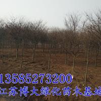 供應紅櫸樹3-12-15-18公分紅櫸*新價格江蘇紅櫸樹基地
