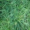 麦冬绿化工程苗批发公司