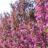 垂丝海棠树、垂丝海棠小苗 垂枝海棠