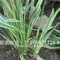 金边麦冬、百子莲、金叶菖蒲、常绿萱草、火星花、兰花三七、阔叶
