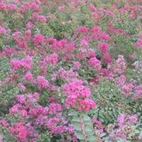 矮紫薇 百日紅、滿堂紅、小癢癢樹