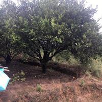 胡柚树/胡柚树价格/衢州胡柚基地
