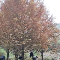 水杉/浙江水杉价格/12公分水杉/15公分水杉/18公分水杉
