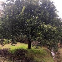 精品冠500的胡柚树/p450柚子树价格