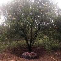 衢州大量供应冠幅450的精品胡柚树