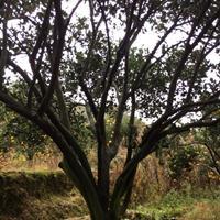 全国大龄供应精品胡柚树/大规格胡柚树/胡柚树苗