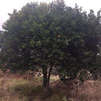 杭州胡柚小苗/全冠胡柚树/精品香柚树/移栽柚子树