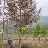 浙江水杉价格/水杉行情/20公公分以下的水杉大量供应