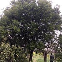 实生柚树、嫁接柚树、丛生胡柚树、兼营香泡树、柑橘树、桂花树