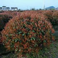 四川大量供应精品红叶石楠球/优质红叶石楠球价格
