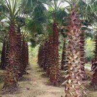 華盛頓棕櫚桿高3米-4米行情報價/華盛頓棕櫚桿高3米-4米圖片展示