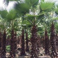 福建[产品]/福建华盛顿棕榈价格/报价