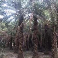 福建银海枣杆高3米-4米批发/供应