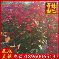 漳州勒杜鵑、同安紅勒杜鵑高度2-2.5米冠1米