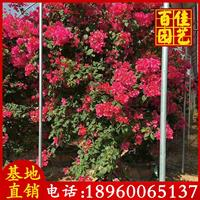 漳州 造型三角梅地徑20高3-3.2米
