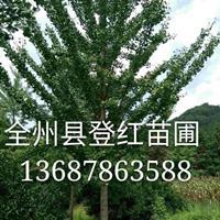 大量供應各種規格銀杏和桂花樹