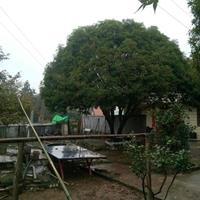 大量供應10至80公分叢生桂花樹