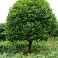 大量供應12至26公分桂花樹