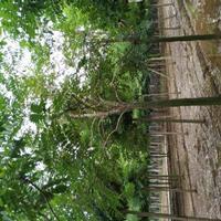 供应臭椿树  白皮椿  椿树价格