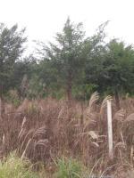 紅豆杉/大量供應8公分-25紅豆杉/廣西紅豆杉/南方紅豆杉
