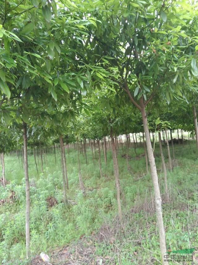 楠木/大量低价供应米径2-5公分楠木10万颗
