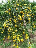 桂林地区大量低价供应橘子树/橘子树/香泡树/香橼/胡柚