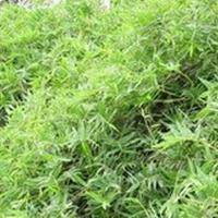 凤尾竹,观音竹、米竹、筋头竹、蓬莱竹