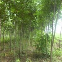 江蘇沭陽縣供應大量欒樹