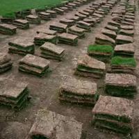 江蘇沭陽縣供應大量馬尼拉_馬尼拉草坪
