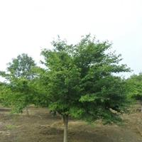 江苏沭阳县供应大量鸡爪槭苗木