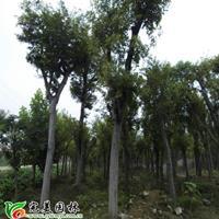 江蘇沭陽縣供應大量樸樹_白櫸樹_青櫸樹