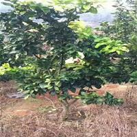 福建漳州平和柚子华安坪山柚子