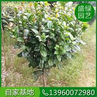 高1-2.5米茶花价格120-330元 漳州茶花 福建茶花