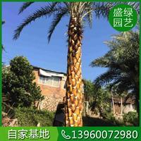 如何种植福建中东海枣(米径30,高2米5,冠幅4米,330)