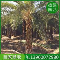 漳州中东海枣 银海枣  中东海枣形态特征 中东海枣价格