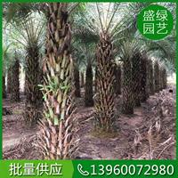 米径30-50公分中东海枣 漳州中东海枣基地 中东海枣养护
