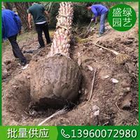 漳州银海枣 福建银海枣 30-50公分银海枣 银海枣栽培技术