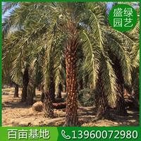 中东海枣养护要点 银海枣主要价值 可供全国中东海枣银海枣