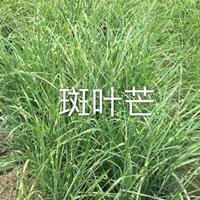 斑叶芒/杭州大量快乐赛车开奖斑叶芒/水生植物斑叶芒价格