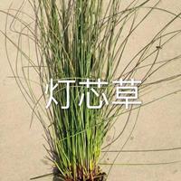 灯芯草、旱伞草价格浙江杭州萧山再力花,梭鱼草、矮蒲苇,芦苇