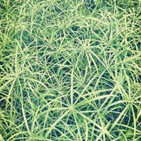 旱伞草、再力花,梭鱼草、矮蒲苇,水葫芦,细叶芒,斑叶芒
