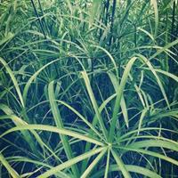 水生植物/旱伞草市场行情报价,浙江杭州萧山水竹,风车草,