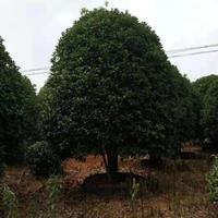 精品桂花3米.4米.5米冠