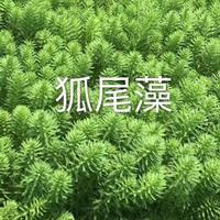 浙江狐尾藻/香蒲/蒲苇/水葱/睡莲/芦竹/马蔺/狐尾藻价格