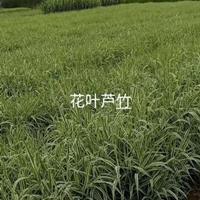 花叶芦苇/全国各地区大量供应花叶芦苇/精品水生植物花叶芦苇供