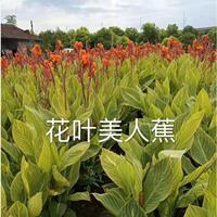 魅力花叶美人蕉供应/水生植物花叶美人蕉报价