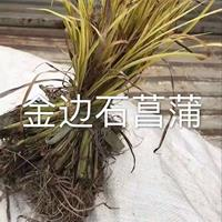 优质金边石菖蒲/精品石菖蒲,黄菖蒲价格浙江水生植物