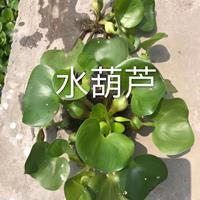 水生植物水葫芦/萧山水葫芦快乐赛车开奖